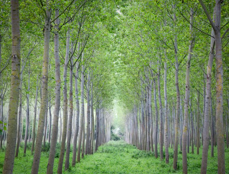 Pappeln sind aufgrund ihres schnellen Wachstums geeignete Energiepflanzen. (Quelle: © iStockphoto.com/ rcaucino)