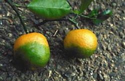 Die grünliche Färbung der Schale auf der unteren Hälfte ist ein typisches Symptom der Pflanzenkrankheit Huánlóngbìng.