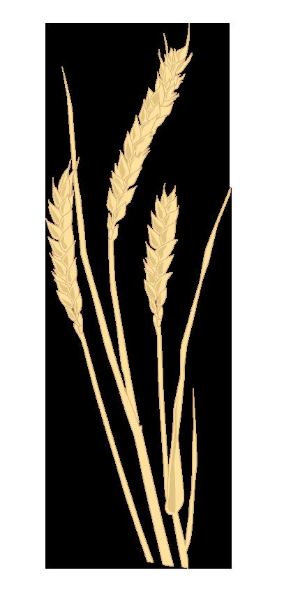 Weizen – Triticum aestivum