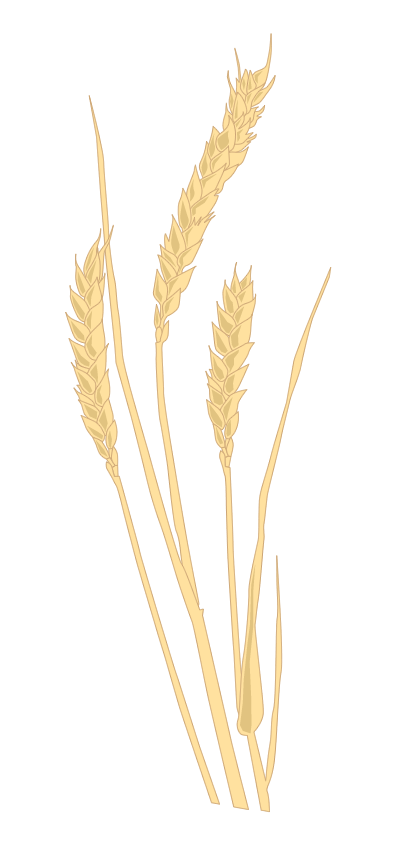 Pflanze: Weizen
