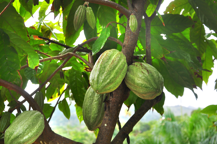 Die Frucht des Kakaobaums wird bis zu einem halben Kilogramm schwer.