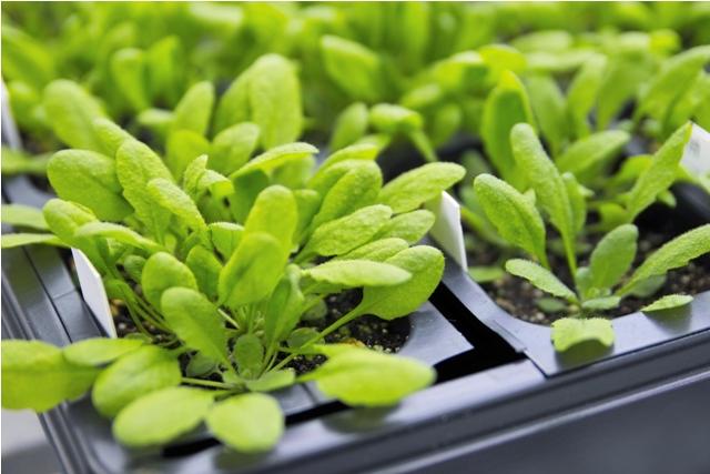 Modellpflanze der Pflanzenforschung: Arabidopsis thalianahat ein vergleichsweise kleines Genom, ihre Generationszeit ist kurz und ihre Wachstumsansprüche sind leicht zu befriedigen.