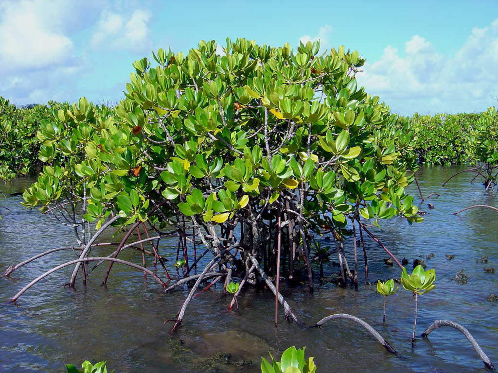 Mangroven speichern große Mengen CO2. (Quelle: © David Burdick / NOAA Photo Library / wikimedia.org; CC BY 2.0)