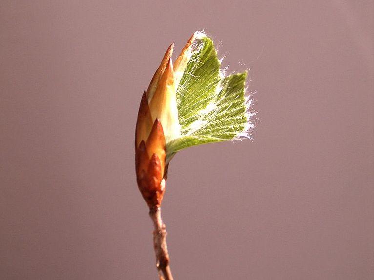 Je kälter der Winter, desto früher beginnen die Knospen der Pflanzen zu sprießen. (Quelle: © Spacebirdy/wikimedia.org; CC BY-SA 3.0)