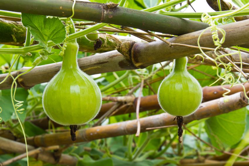 Der Flaschenkürbis ist nahezu überall auf der Welt zu finden. An der Kletterpflanze wachsen Früchte, die ganz unterschiedliche Größe, Farbe und Form haben können. (Quelle: © iStockphoto.com/ teptong)