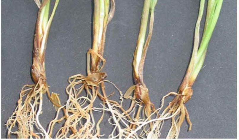 Gerstenwurzeln befallen mit dem mykotoxinbildenden Pilz.