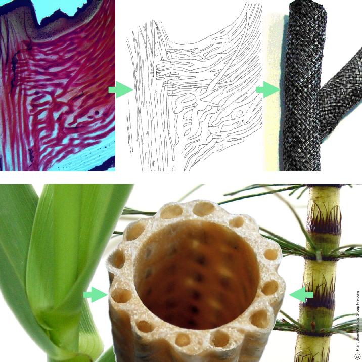 Oben: Entwicklung verzweigter bionischer Faserverbünde nach dem Vorbild des Drachenbaums. Unten: Der Technische Pflanzenhalm ein struktur- und gewichtsoptimierter bionisches Faserverbundmaterial (mitte), und zwei der biologischen Vorbilder (Pfahlrohr, links & Schachtelhalm, rechts). Der Technische Pflanzenhalm wurde als Kooperationsprojekt zwischen der Plant Biomechanics Group der Universität Freiburg und dem ITV Denkendorf entwickelt und patentiert.
