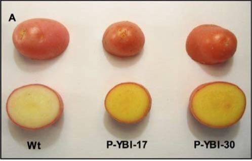 Die goldene Kartoffel (Mitte und rechts im Bild) enthält weit mehr Vitamin A und E als herkömmliche Kartoffeln und könnte Mangelerscheinungen bei der Bevölkerung in Entwicklungsländern vorbeugen.