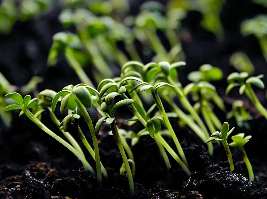 Phytohormone steuern zahlreiche Entwicklungs- und Wachstumsprozessen der Pflanze. (Bildquelle: © berwis / pixelio.de)