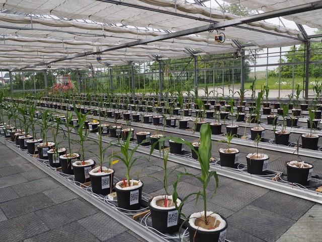 In seiner Doktorarbeit untersucht Florian Berger diverse europäische Maislinien.