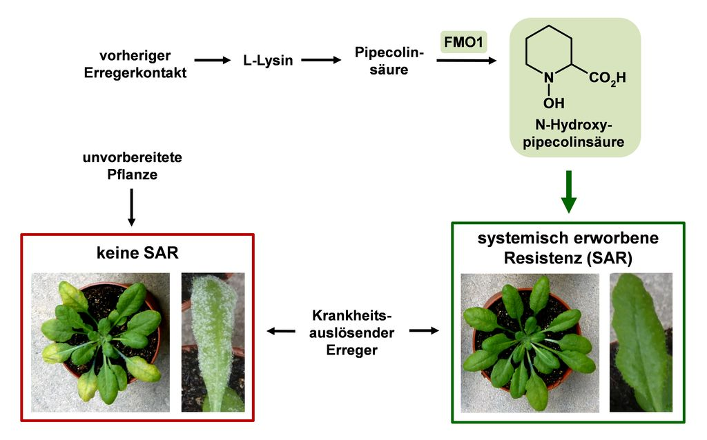 Durch Gabe von N-Hydroxypipecolinsäure (Bild rechts) kann die systemisch erworbene Resistenz der Ackerschmalwand stimuliert werden, so dass sie immun gegen verschiedene Pflanzenpathogene wie die Blattflecken-Erreger oder den falschen Mehltau gemacht werden.