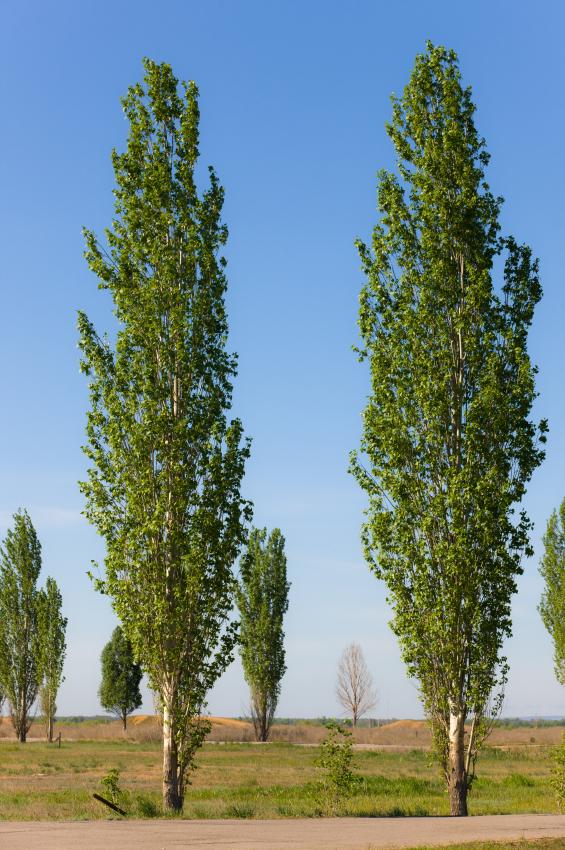 Die Wuchsform von Pappeln unterscheidet sich deutlich von der einer Eiche. Die Äste von Pappeln wachsen fast vertikal und dicht am Stamm.