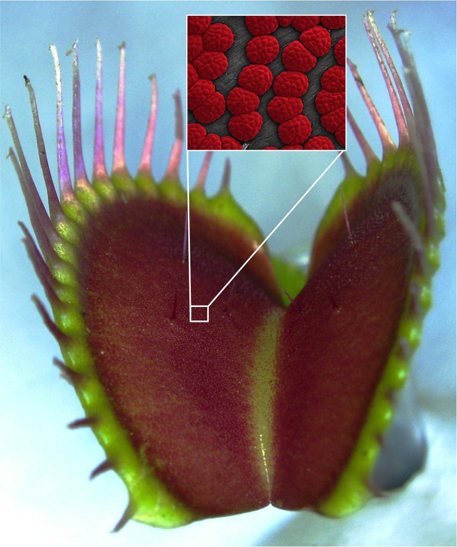 Eine Venusfliegenfalle mit ihrem Drüsenrasen. Der Ausschnitt zeigt einzelne Drüsen unter dem Mikroskop.