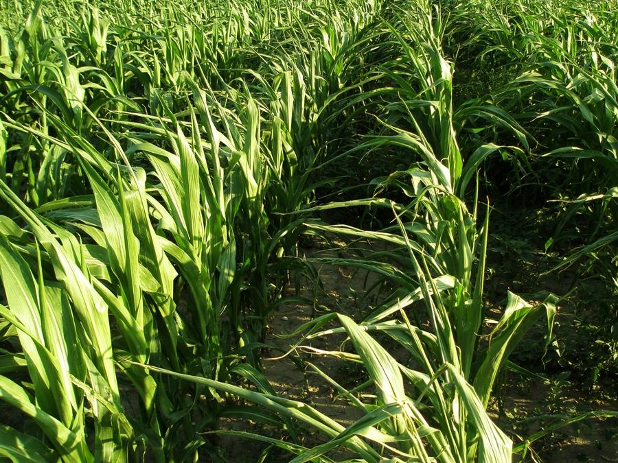 Die deutschen Partner von PLANT-KBBE-CORNFED beschäftigen sich mit Energiemais. Sie suchen nach genetischen Markern, die mit Genen für agronomisch wichtige Merkmale assoziiert sind (Quelle: © Peter Smola / pixelio.de)