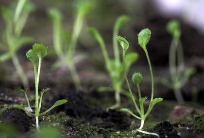 Wissenschaftler nutzten die kleine Versuchspflanze Arabidopsis thaliana, um die Regulation der NB-LRR Rezeptoren zu untersuchen, durch die Pflanzen Krankheitserreger wahrnehmen (Quelle: ©Vasily Koval/ Fotolia.com).