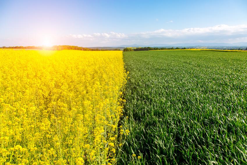 Fällt ausreichend Regen, geht es Raps und Weizen beiden gut. Doch bei Trockenheit hat Weizen die Nase vorn. Er reagiert schneller, schließt seine Poren und mindert damit den Wasserverlust.