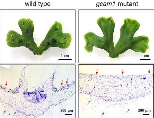 Oben: Drei Wochen alte Brunnenlebermoospflanze. Links der Wildtyp (als Kontrolle verwendet) und rechts eine Mutante, bei dem das GCAM1-Gen fehlt. Unten: Querschnitt. In der Mutante (rechts) haben sich keine Brutbecher gebildet.