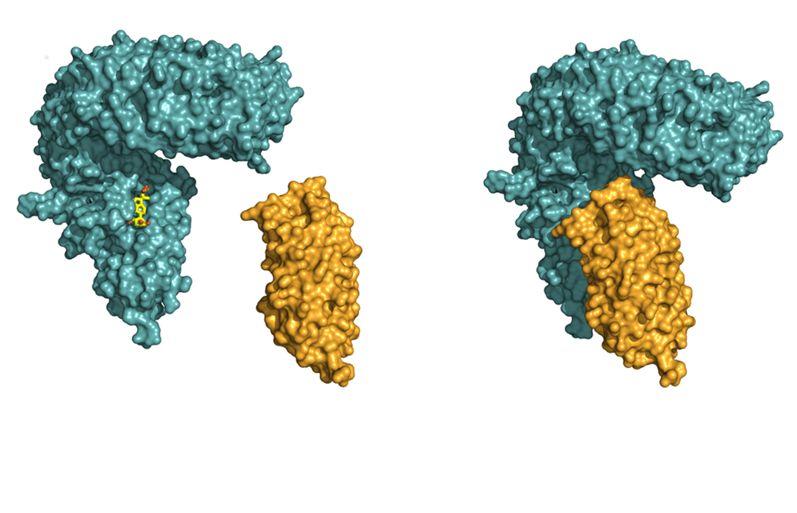 LRR-Domäne des Rezeptors BRI1 (blau), Hilfsrezeptors (orange). Im ersten Schritt bindet BRI1 das Steroidhormon (in gelb) in einer Tasche an seiner Oberfläche. (Quelle: © Julia Santiago)