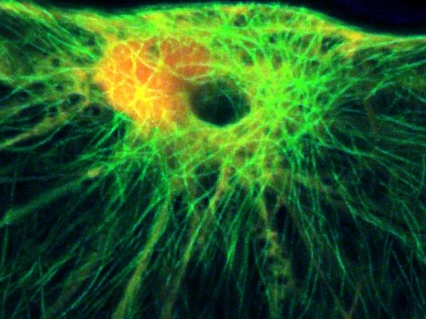 Versucht der Mehltaupilz die Zellwand der Pflanze zu durchbohren, leitet das Protein MAGAP1 den Umbau der Zellarchitektur ein. Zytoskelettelemente werden daraufhin auf den Punkt des Angriffs ausgerichtet, um eine Barriere gegen den Pilz aufzubauen und ihm den Zugang zu versperren.
