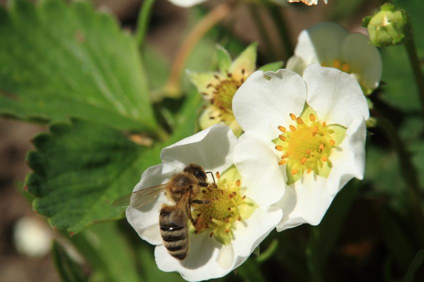 Bestäuber bei der Arbeit - Die Biene bestäubt gerade eine Erdbeerblüte. (Quelle © vladuzn - Fotolia.com)