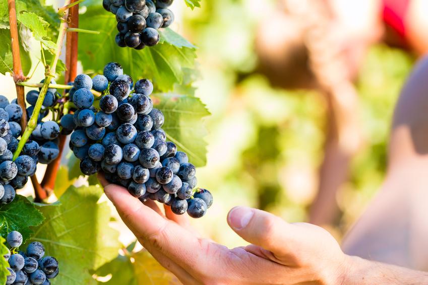Propionibacterium acnes type Zappae lebt in Weinpflanzen. Es ist das erste entdeckte Bakterium, das vom Menschen auf eine Pflanze übertragen wurde. (Quelle: © Kzenon - Fotolia.com)