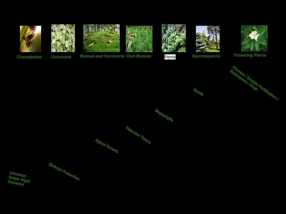 Die moderne phylogenetische Klassifikation der Landpflanzen spiegelt ihre Evolutionsgeschichte wider.