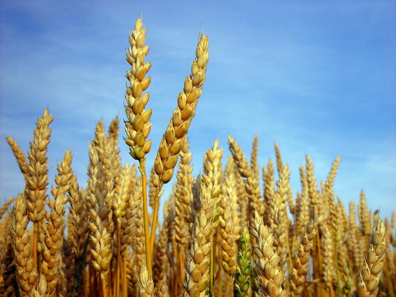 Weichweizen wird für die Herstellung von Brot, Backwaren, Malz und Futtermittel verwendet. Sein Korn ist im Vergleich zum Hartweizen mehliger und weicher. (Bildquelle: © Kurt Michel/ pixelio.de)