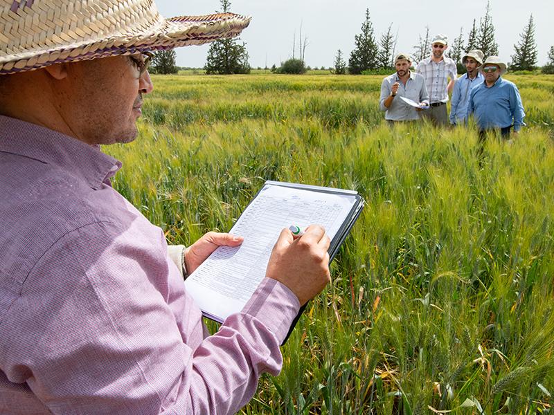 Trockenheitstest: In Marokko bewerten Züchter auf dem Feld Weizenlinien, um die besten Sorten auszuwählen.