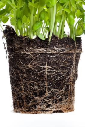 Pflanzenwurzeln kommen unter der Erde mit einer Vielzahl von Bodenbakterien in Kontakt. (Quelle: © iStockphoto.com/ Christian Seeling ).