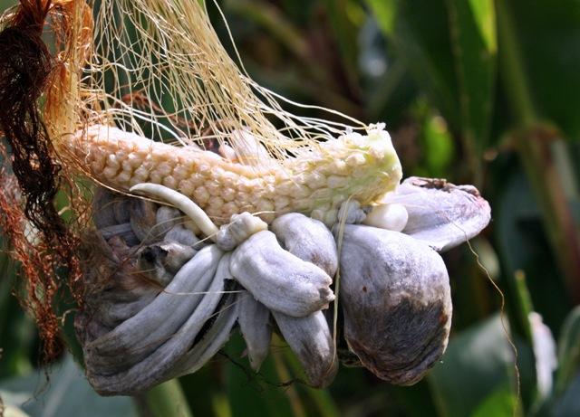 Bei der Maisbeulenkreankheit bilden sich große tumorartige Strukturen an Blättern, Kolben und männlicher Blüte, in denen sich der Pilz vermehrt und Sporen produziert (Quelle: © Susanne Schmich / pixelio.de).