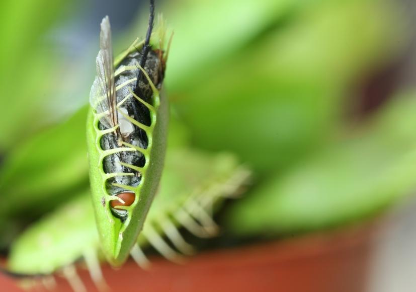 Summ, summ, schnapp! Die Pflanze lockt Insekten mit einer Kombination aus Duft, Farbe und glitzernden Nektartröpfchen an.