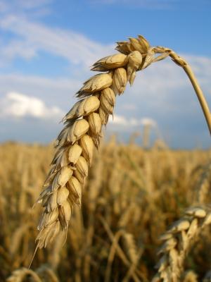 Ein Resistenzgen aus dem Roggen verleiht Weizen seine Resistenz gegen den Erreger des Mehltaus. Doch das funktioniert nicht immer.
