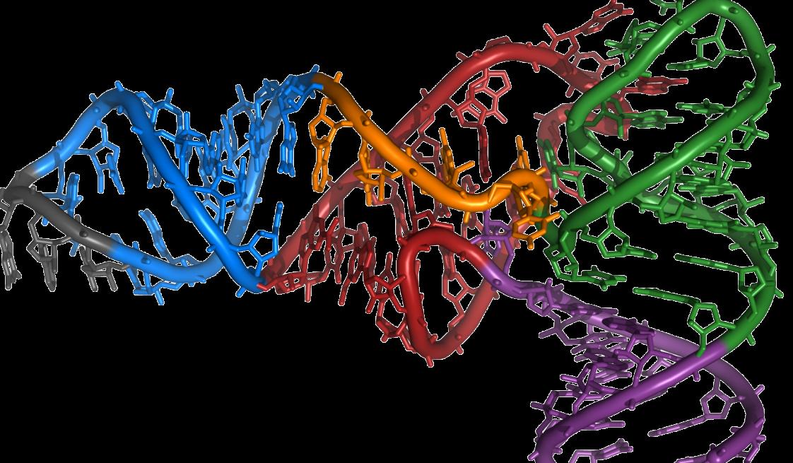 Die RNA ist ein vielseitiges Molekül: Sie trägt die genetische Information und kann verschiedene 3D-Strukturen annehmen. Hier im Bild ist ein Teil einer tRNA zu sehen. (Bildquelle: © Yikrazuul / wikimedia.org; CC BY-SA 3.0; Detail)