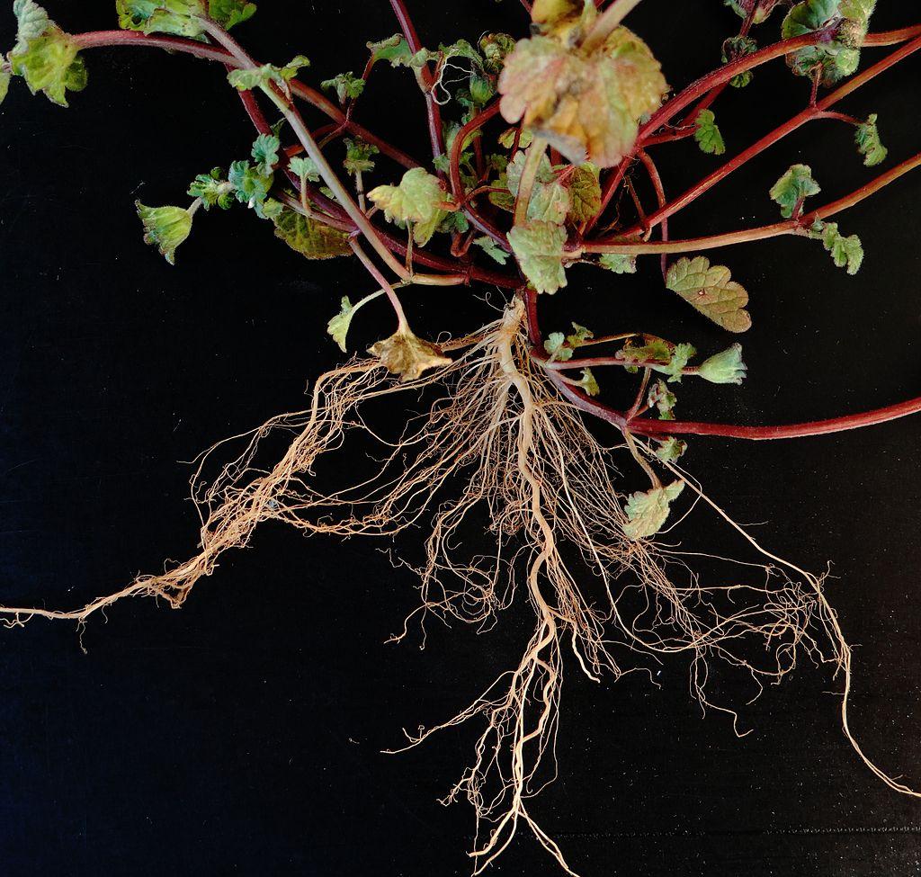 Wie Pflanzen Wurzeln bilden, beschäftigt Wissenschaftler seit Jahren. Laufend befördern Studien Neues darüber ans Licht. (Bildquelle: © Rollingfrenzy/ wikimedia.org/ CC0)