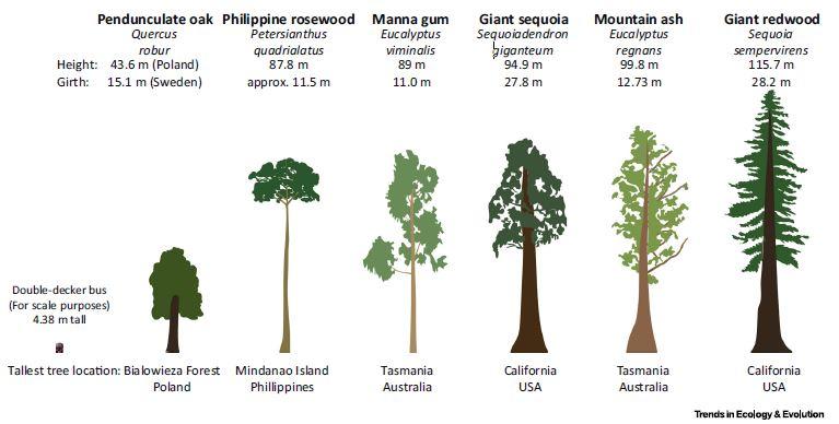 Diese Abbildung zeigt die Höhe, den Umfang und Standorte von einigen der größten Baumarten der Welt.