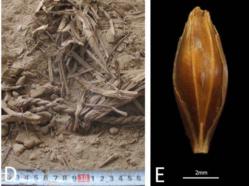 Dank der extremen Trockenheit der judäischen Wüste ist pflanzliches Material außerordentlich gut erhalten | Rechts: Aufnahme eines in der Yoram-Höhle gefundenen Gerstenkorns.