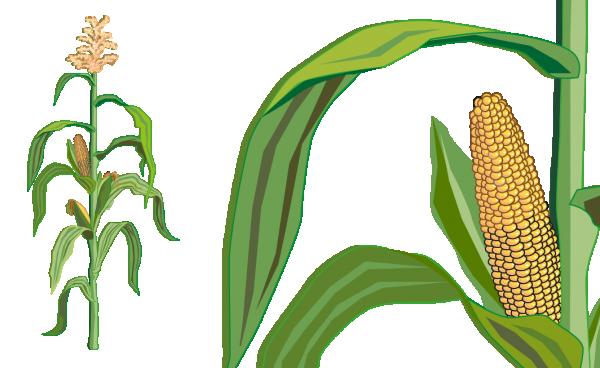 Mais ohne kolben