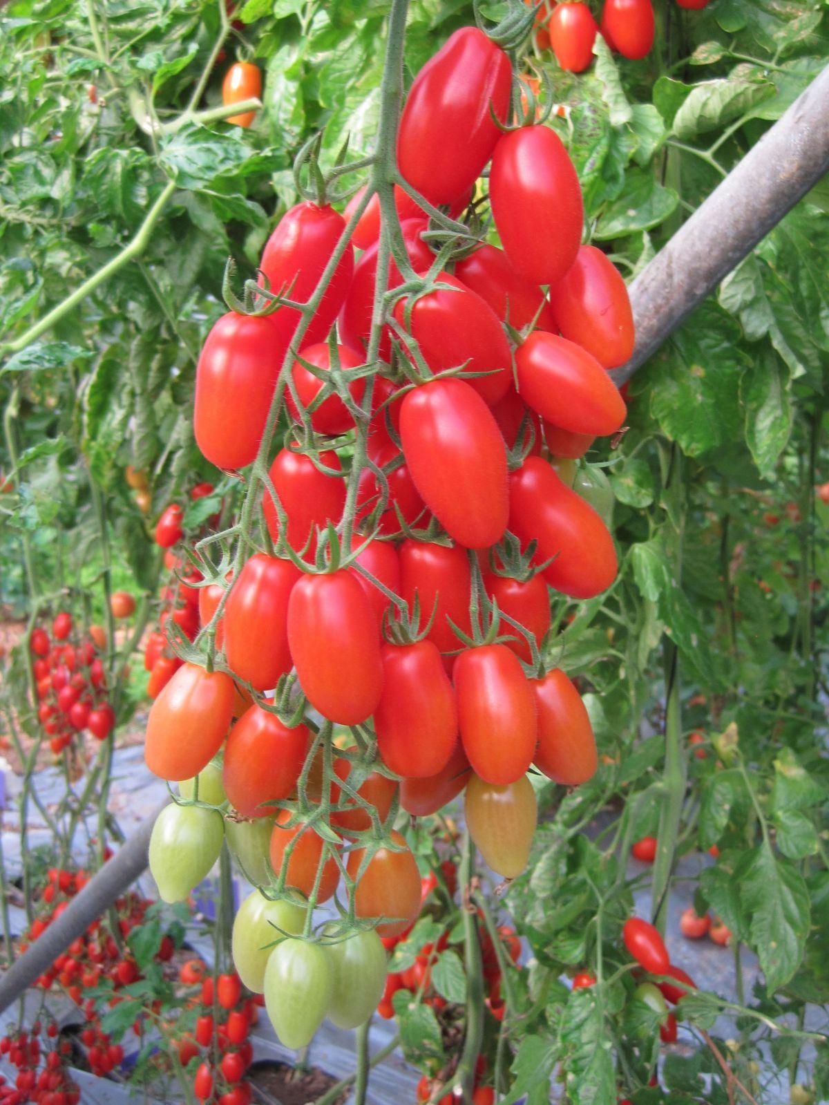 Dieses Foto zeigt das Ergebnis des Forschungsteams: Die Tomatenpflanze hat schwach verzweigte Blütenstände, die mehr Früchte ausbilden.